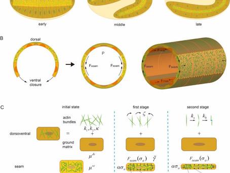HKU ME scientists make breakthrough in embryo mechanics