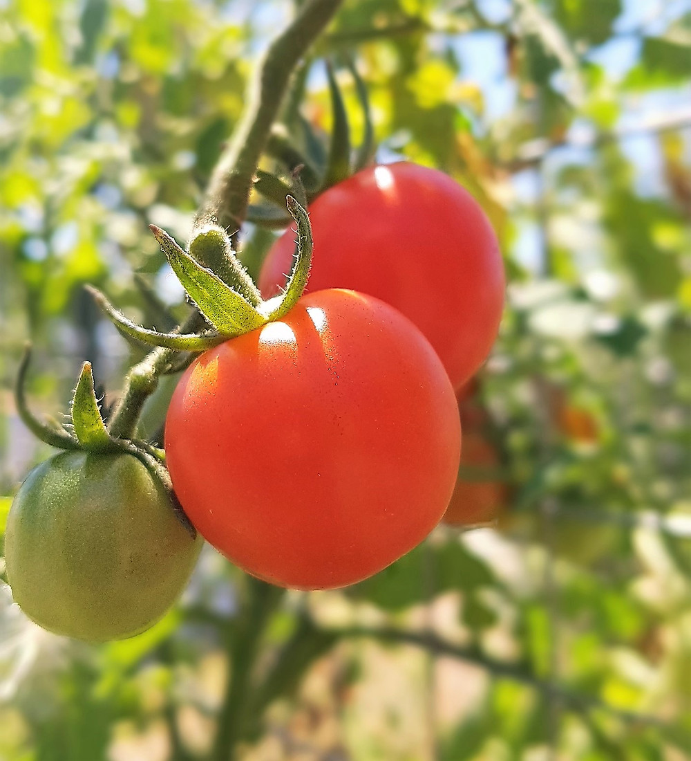 A photo of a truss of cherry tomatoes