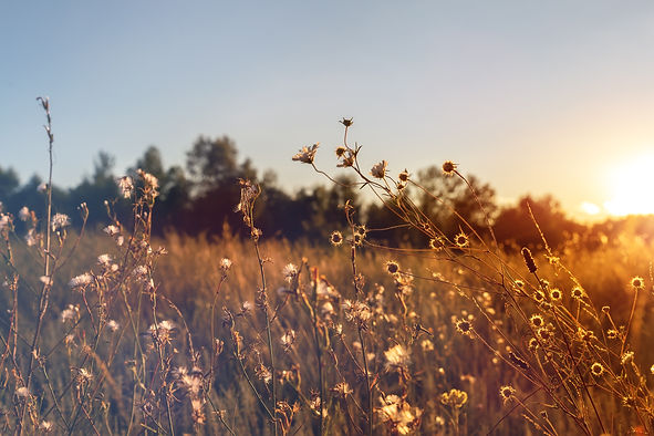 sunset-wildflower-field.jpg