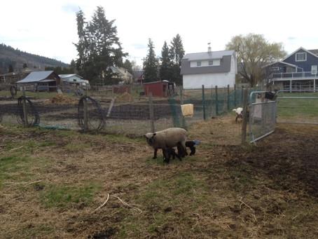 2015 lambs finally arrive