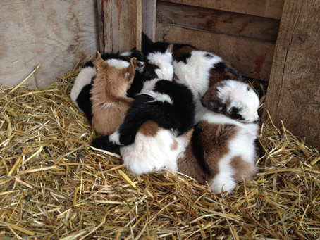 2014 Baby Goats Have Arrived!!!