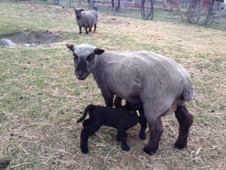 1st Lambs of 2014 show up Deus Ex Machina