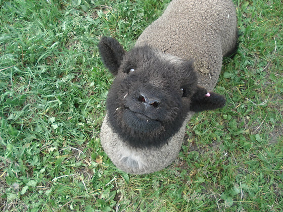 A Deposit on One Babydoll Lamb
