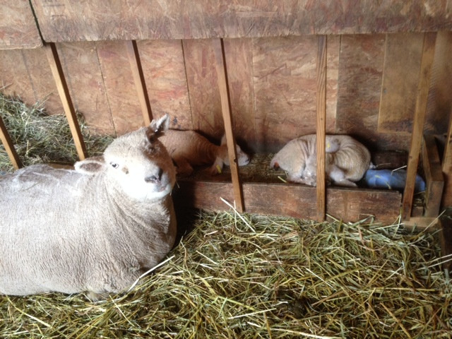 Crystal with lambs 2015