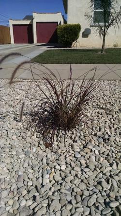 Drought Resistant Plant