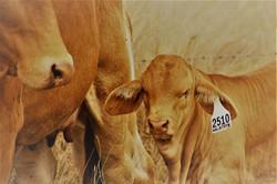 Gizmo Bull calf