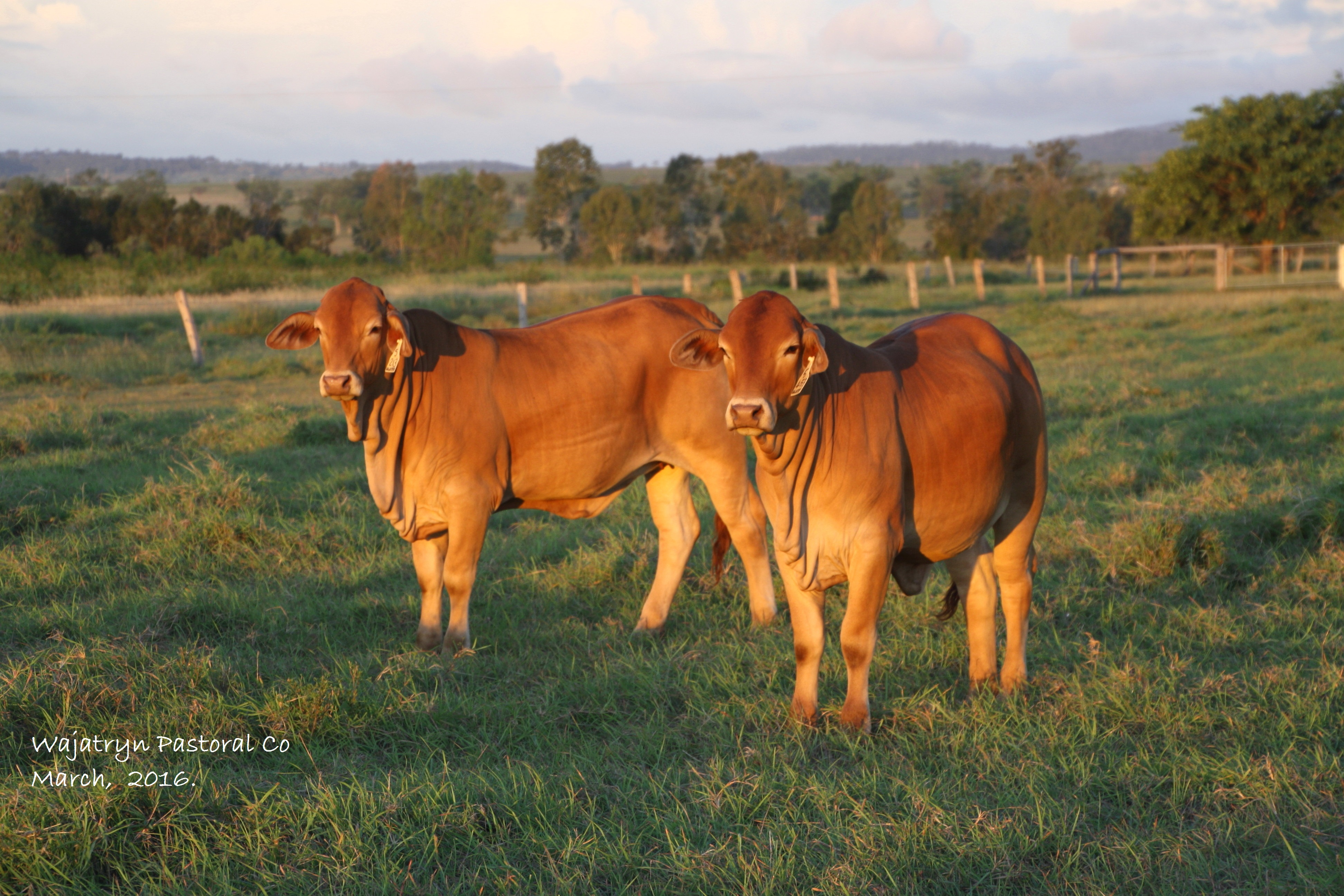 heifers for sale Sold WA Gizmo daughters