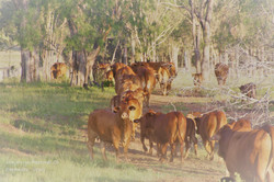 cows and calves in laneway