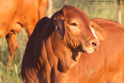 wajatryn bull calf