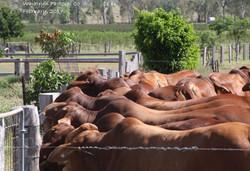 Bulls for Sale Bulls watching breeders go past in laneway