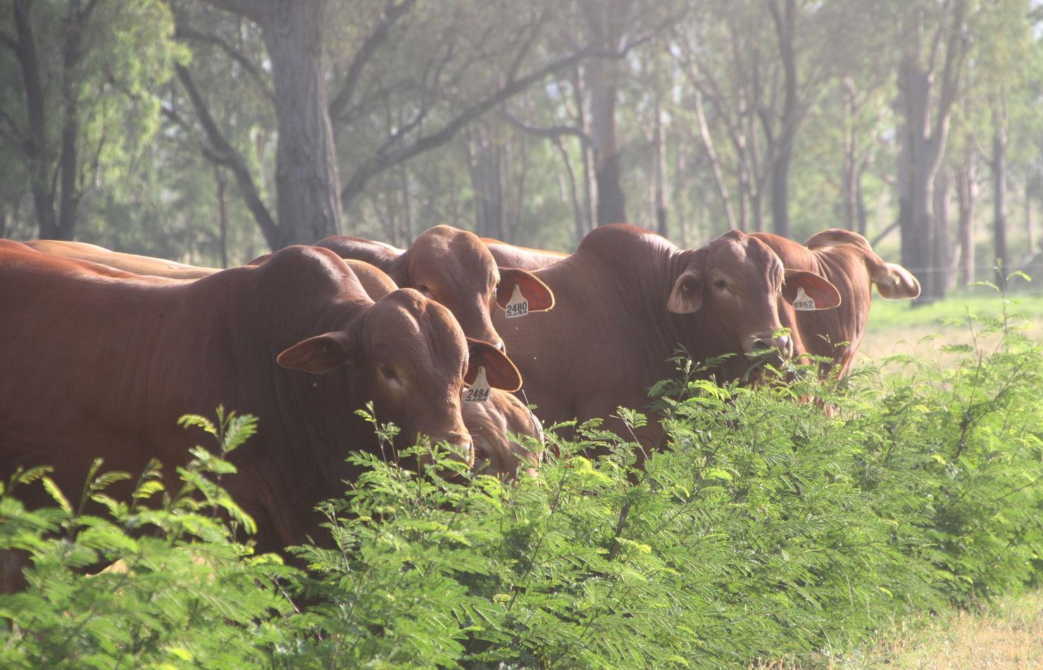 wajatryn bulls droughtmaster leaucaena