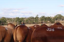 bulls for sale paint branded DN bulls 2015