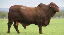 New Sire Redskin Harley - Welcome New Sires including $38,000 Harley from Highlands Droughtmaster Sa
