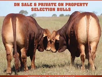 Bull Selling Season Well Under Way at Wajatryn