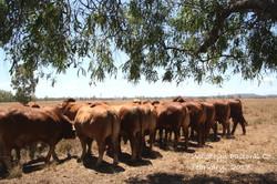 Bulls for sale young bulls