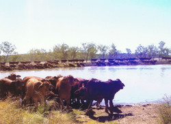 early weaners