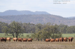 Bulls for Sale Line sold to CQ 2015