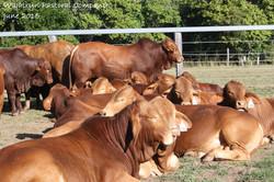 bulls for sale quiet in backyards  2015