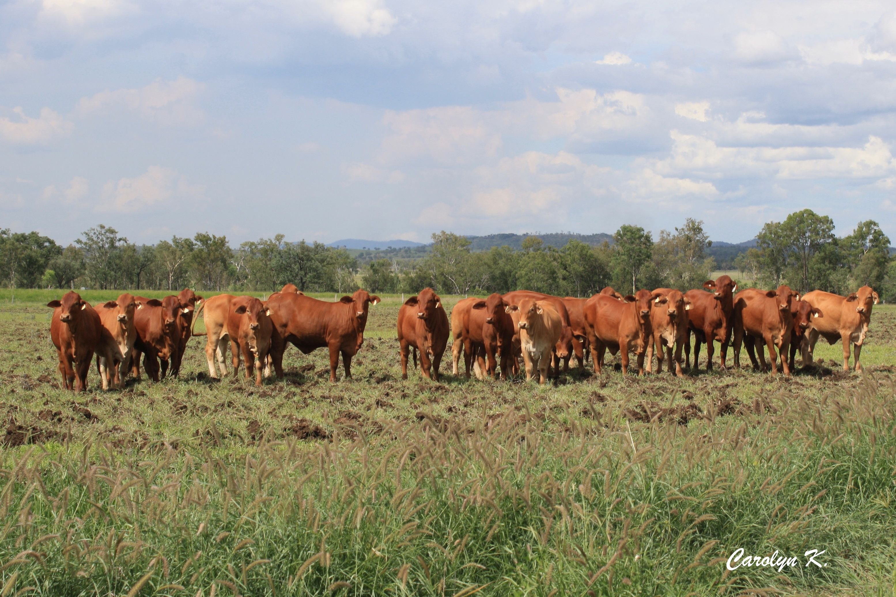 Heifers for Sale a few years back