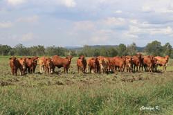 Heifers for Sale a few years back