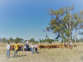 Inspect. Select. Buy - All Wajatryn 2016 Bulls for Sale on Property from $3,500 - $15,000.