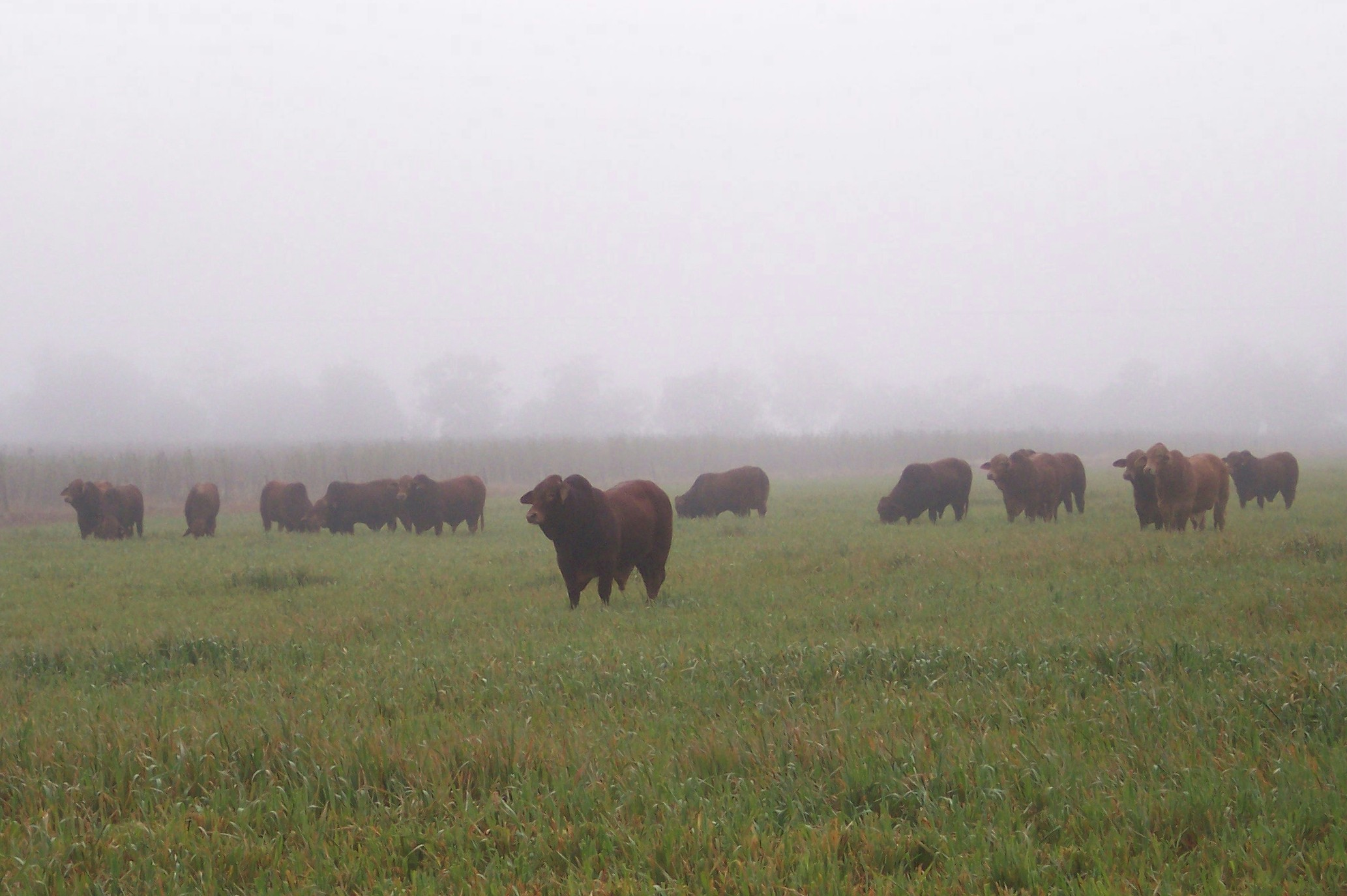 Quiet consistent. Quality bulls for sale