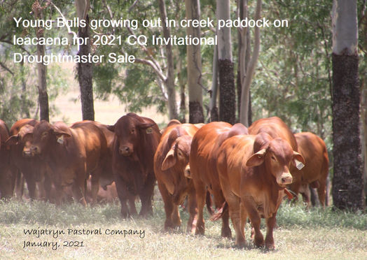 CQ Invitational Sale bulls
