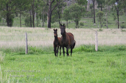 eclipse and foal