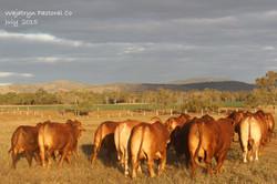 Droughtmaster National bulls