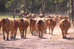cows and calves on track home