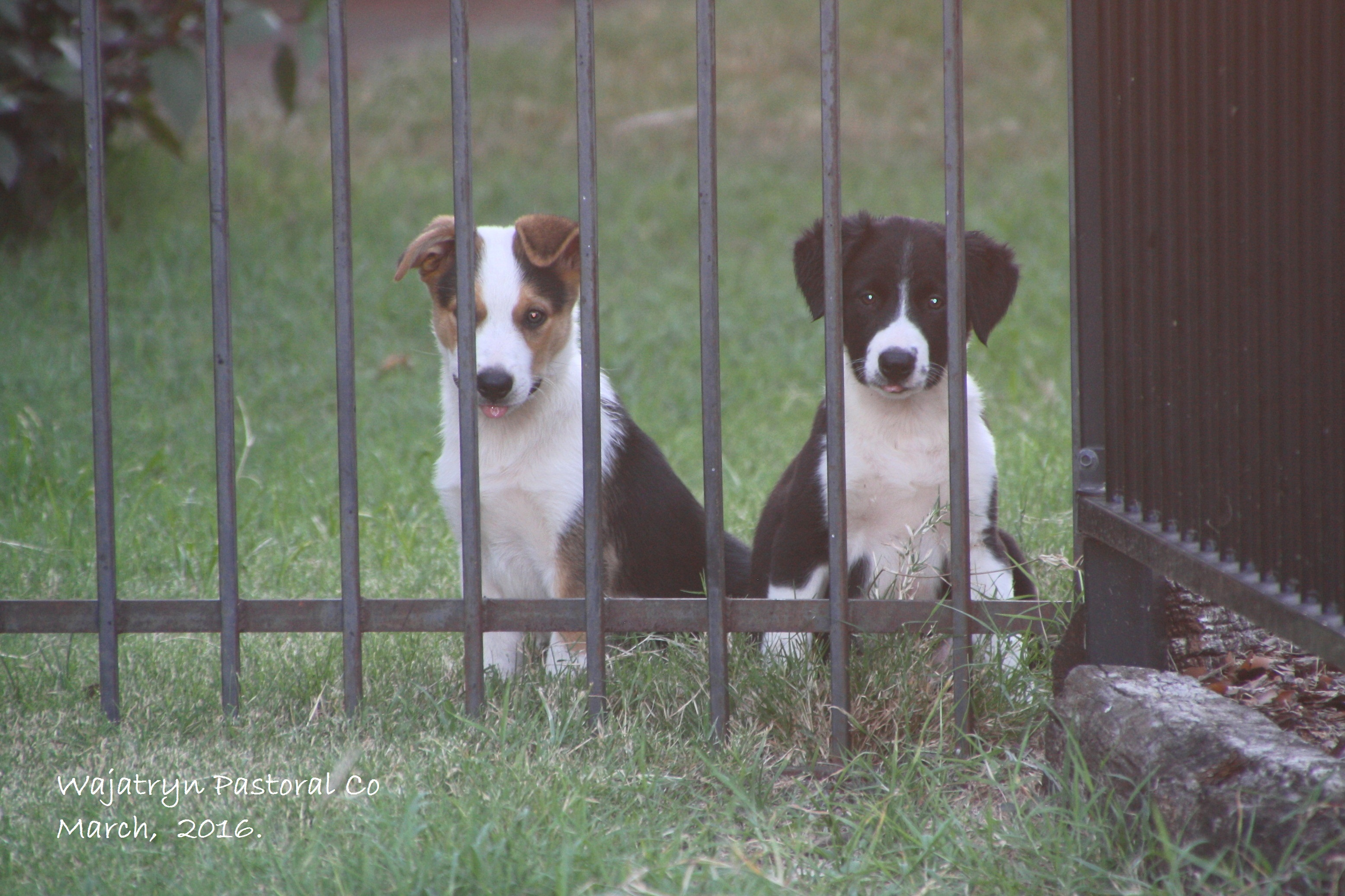 history Tex and Lizzy as pups
