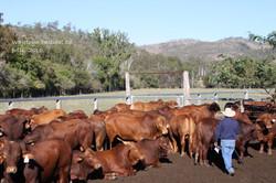 Bulls for Sale June Sale 2016