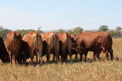 bulls for sale year round crop prepared