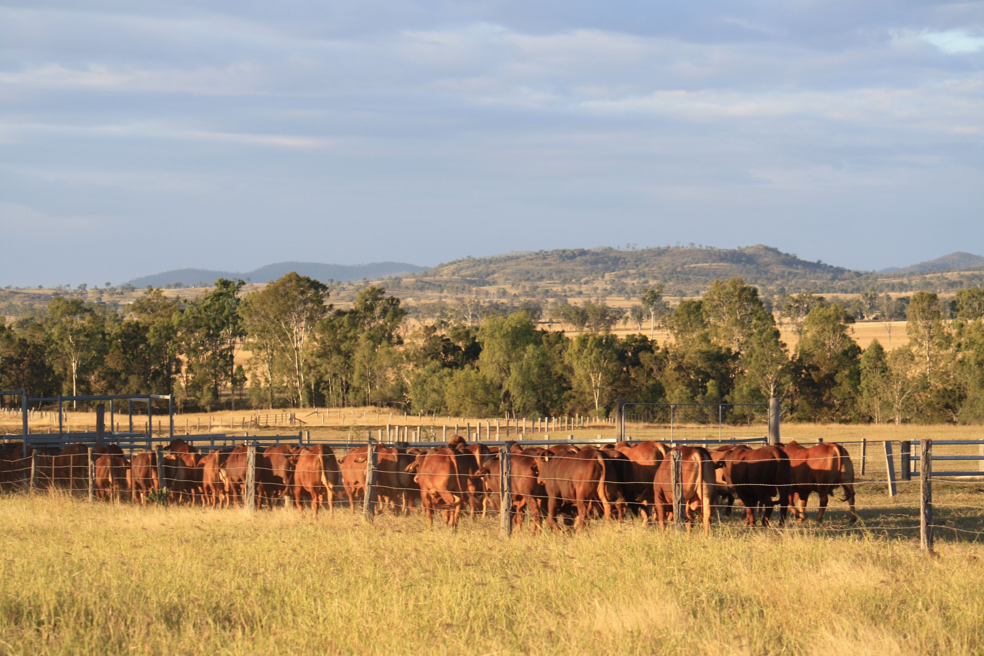 Bulls for Sale being yarded at Wajatryn 2013