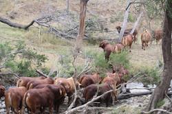 Bulls for sale after floods 2015