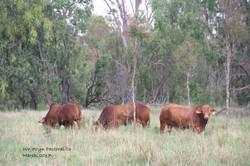 Bulls for Sale running in creek paddock 2017