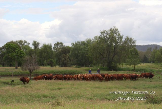 Bulls for Sale from Bull Paddock 2013