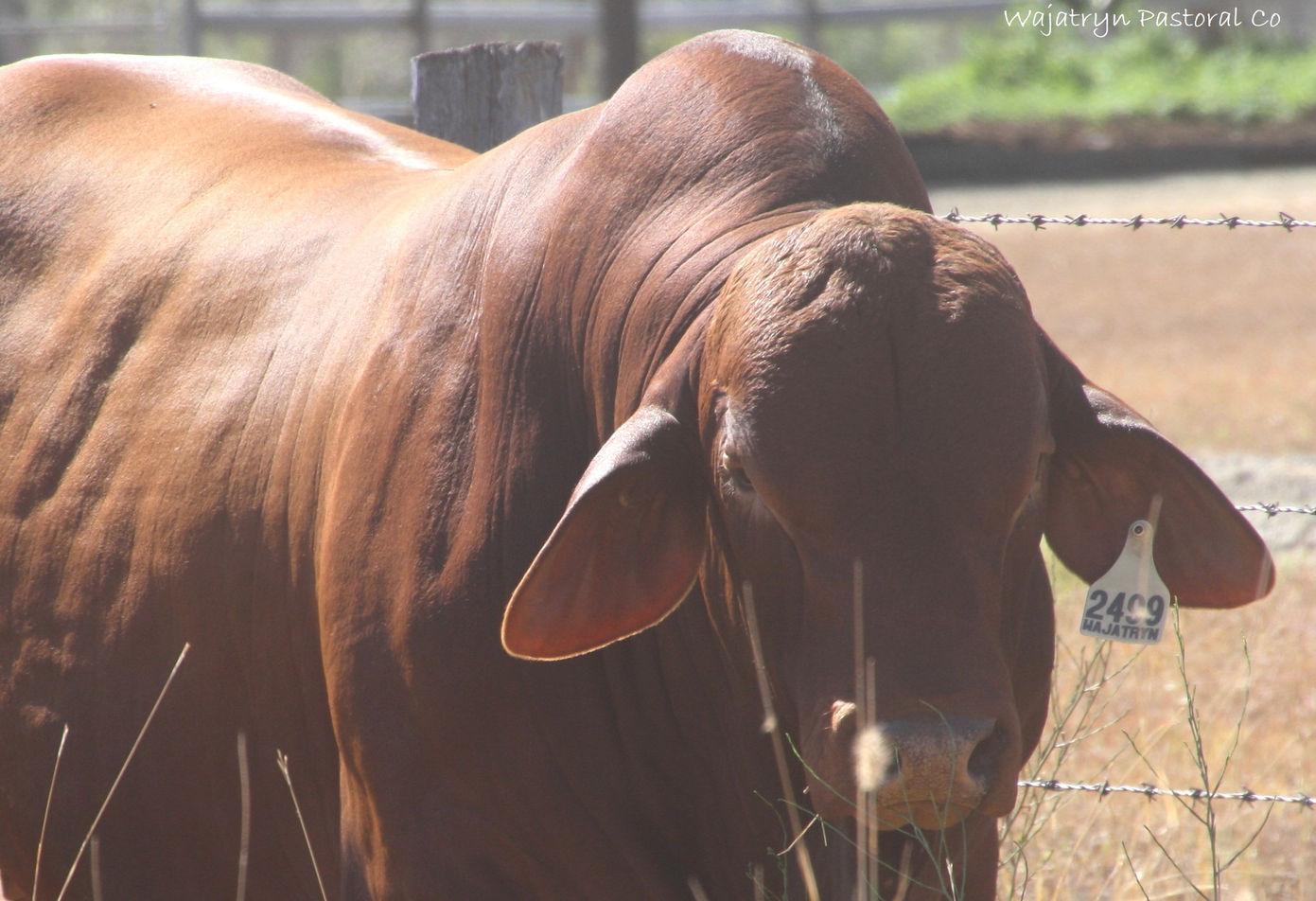 Wajatryn bull topline n beef.jpg