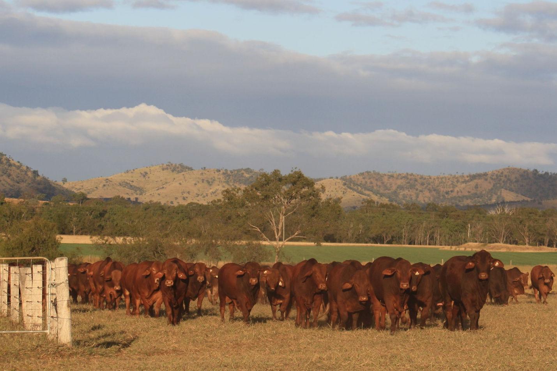 wajatryn droughtmaster bulls