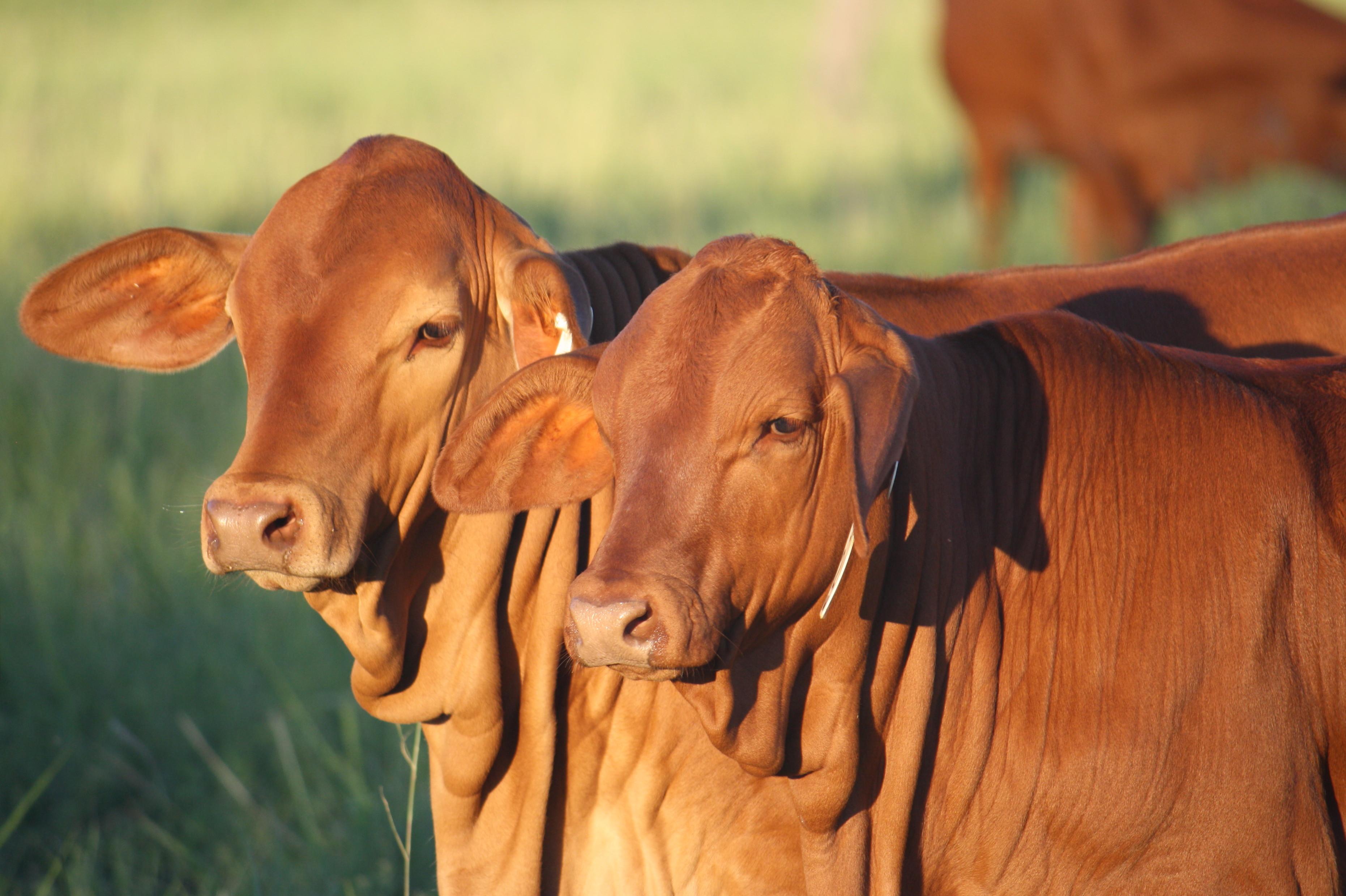 2 calves
