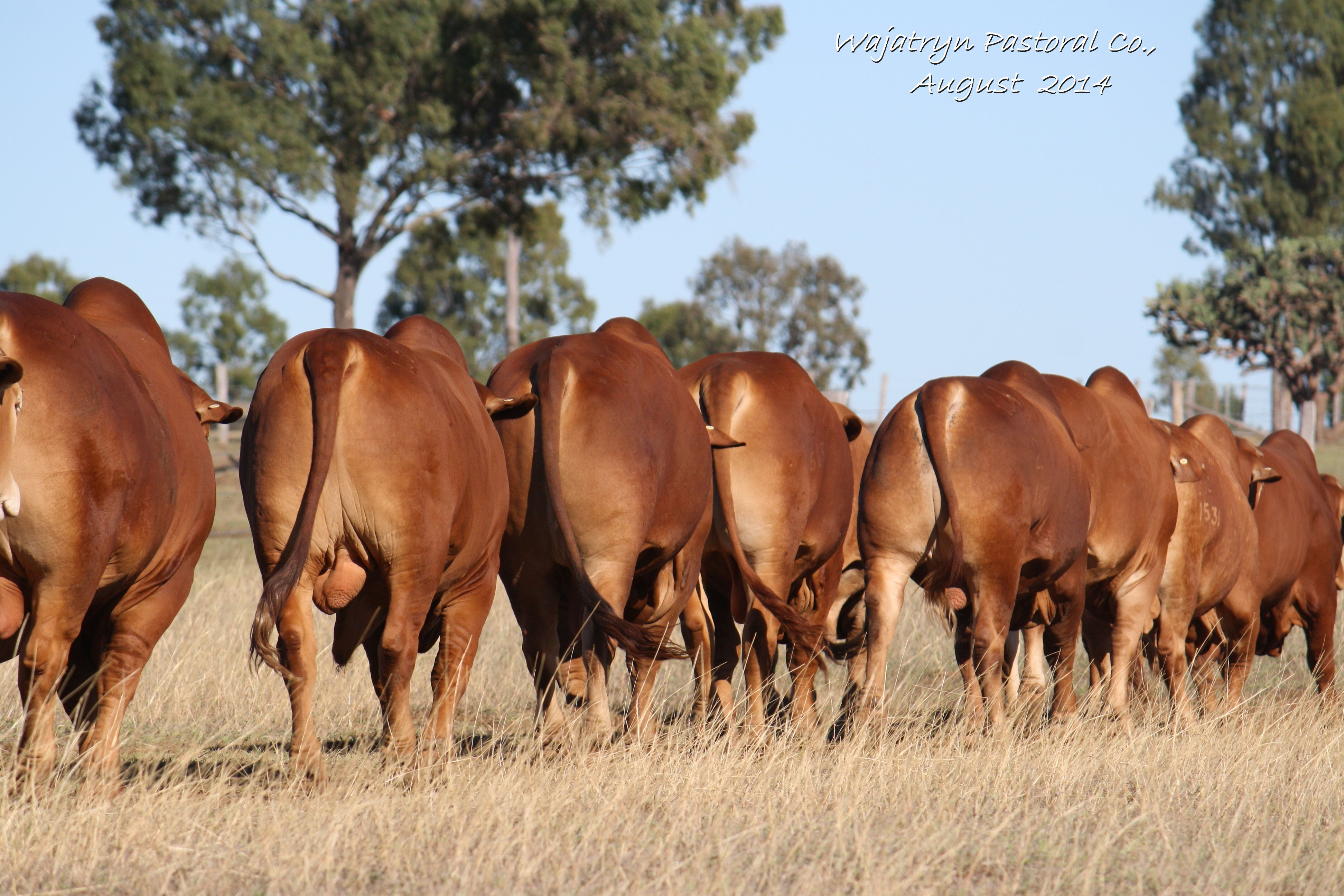 Bulls for sale from 2014