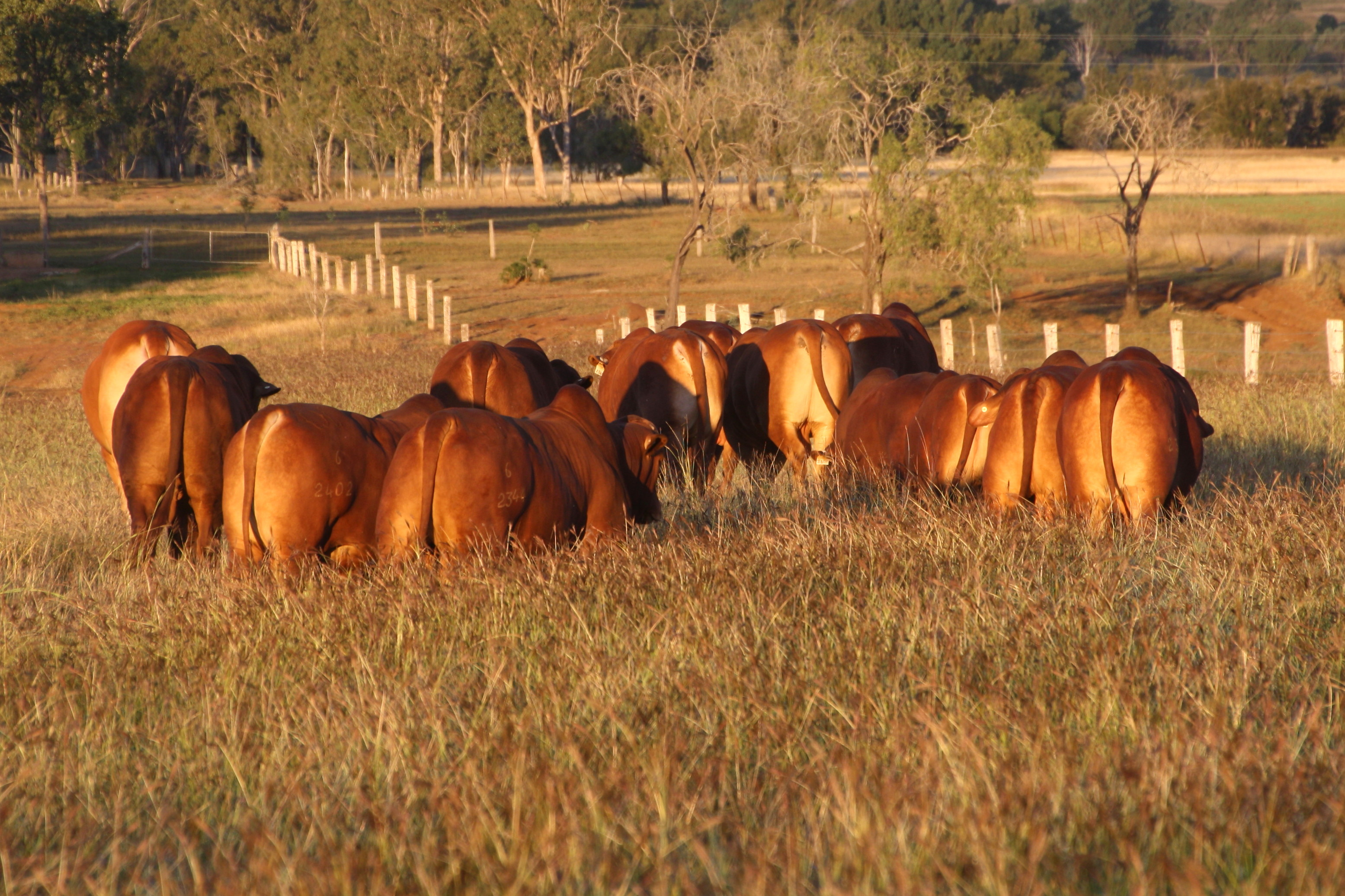 Bulls for sale afternoon sun 2017