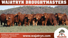 Bulls, Females, Semen For Sale - A busy few months at Wajatryn Droughtmaster Stud