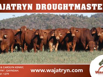 Bulls, Females, Semen For Sale - A busy few months at Wajatryn Droughtmaster Stud