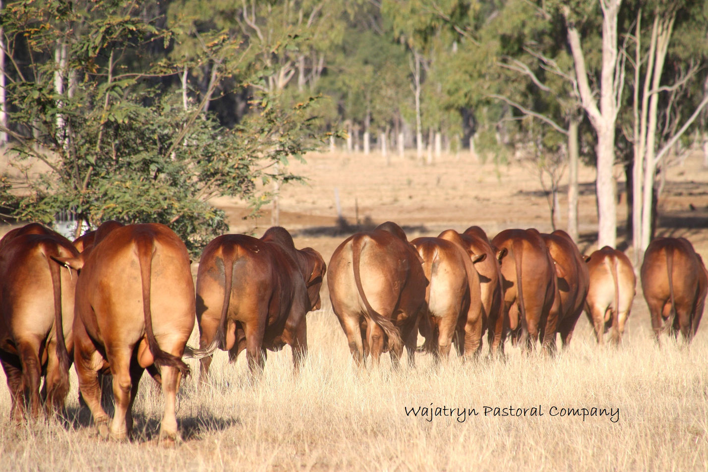 Wajatryn bulls Droughtmaster paddock.jpg