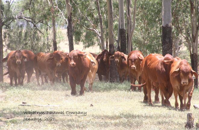 Young bulls for CQ Invitational