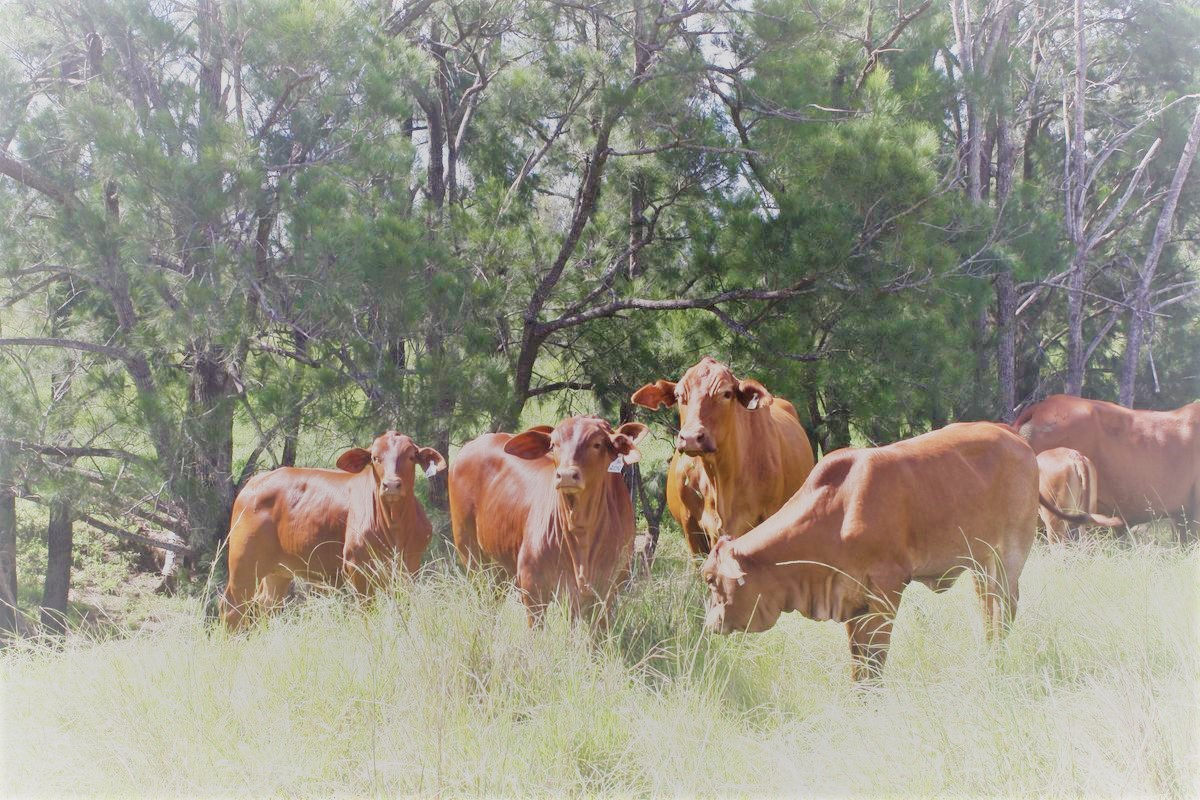 cows and calves on creek bank