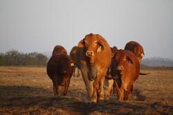 Heifers for sale line up