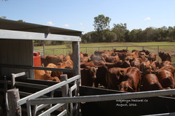 bulls for sale ready for clearing dip  2016
