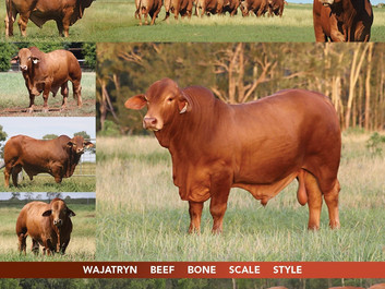 Wajatryn Droughtmaster Bulls Heading to the Highlands Sale